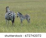 zebra and baby zebra in green...   Shutterstock . vector #672742072