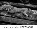 Fox Squirrel Stretched Out On...