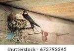 Bird family at nest. Feeding small birds, newborns. Swallow protecting newborn birds inside barn.  - stock photo