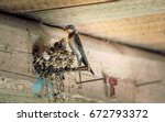 Stock photo bird family at nest feeding small birds newborns swallow protecting newborn birds inside barn 672793372