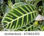 zebra plant leaf  calathea... | Shutterstock . vector #672831352