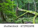 Old Broken Hornbeam Tree Moss...