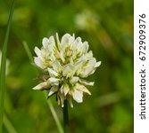 White Clover  Trifolium Repens...