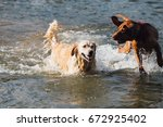 Golden Retriever Dog In A River