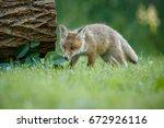 red fox  vulpes vulpes  at... | Shutterstock . vector #672926116