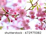 weeping cherry | Shutterstock . vector #672975382