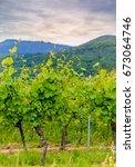 leafy green trellised vines in... | Shutterstock . vector #673064746