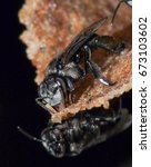 Small photo of Stingless Bee or also known as Kelulut known for its high grade honey