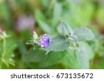 Close Up Of Catnip  Green Herb...