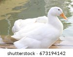 Two Shy White Duck