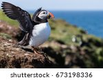 Puffins  island of lunga ...