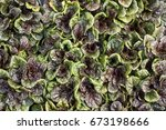 Small photo of Ajuga Black Scallop