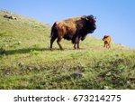 Buffalo And Calf On Hilltop