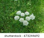 White field flower on background of green grass - stock photo