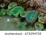 Sea Anemone In Tide Pool. La...