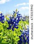 Bluebonnets In A Field With...