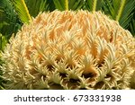 A Close Up Photo Of A Sago Palm ...