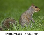 Tree Squirrel That Is Standing...