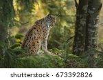 eurasian lynx  lynx lynx  big...   Shutterstock . vector #673392826