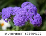 Small photo of Flowering ageratum in a garden