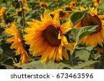 bright yellow  orange sunflower ... | Shutterstock . vector #673463596