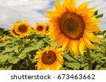 bright yellow  orange sunflower ... | Shutterstock . vector #673463662