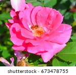 a rose is a woody perennial... | Shutterstock . vector #673478755