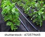 bushes of sweet pepper  grown... | Shutterstock . vector #673579645