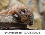 Close Up Portrait Of Gundi Com...