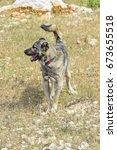 Turkish Anatolian Shepherd Dog.