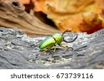 Beetles Insect   Lamprima...