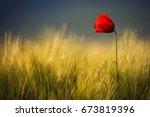single wild poppy flower among...   Shutterstock . vector #673819396