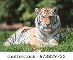siberian tiger | Shutterstock . vector #673829722