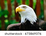 northern bald eagle. white head ... | Shutterstock . vector #673869376