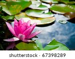 Pink Water Lily  Mecklenburg ...