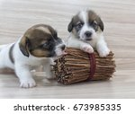 playing puppies jack russell... | Shutterstock . vector #673985335