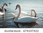 Beautiful white swan with the...