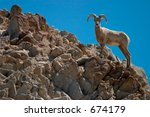 Close-up profile of a bighorn sheep as it surveys its surroundings from the top of a rocky ridge. - stock photo