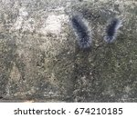 Black Hairy Caterpillar With...