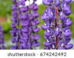 lupine flowers close up | Shutterstock . vector #674242492