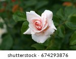 Stock photo roses in the garden 674293876