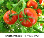 Two Tomatoes Growing On Plant