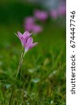 Small photo of Zephyranthes grandiflora is a family plant. Amaryllidaceae The head is in the basement, the texture is white in texture, the brown membrane is covered by a single small, long, flowering flower.