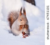 Squirrel Eating Nut On The Snow