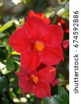 Small photo of climbing plant mandevilla dipladenia