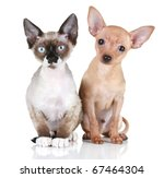 Stock photo toy terrier puppy and devon rex cat on a white background 67464304