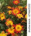 marigold field in the garden... | Shutterstock . vector #674665102
