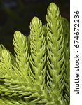 Small photo of Araucaria heterophylla (Norfolk Island pine), a vascular plant in the very ancient conifer family Araucariaceae