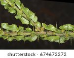 Small photo of Acacia paradoxa (kangaroo thorn), a plant in the Fabaceae family (leaves and spines detail)