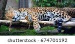 jaguar cub is a big cat  a... | Shutterstock . vector #674701192